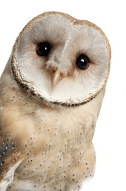 schmoe owls